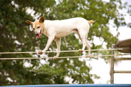 Top dog on a tight rope