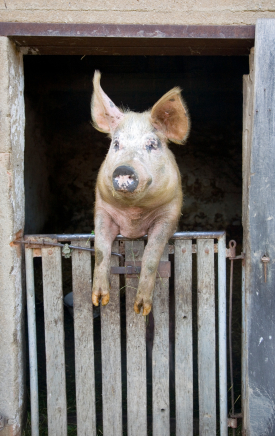 Joe the Pig 2
