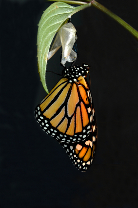 Butterfly emerges from cocoon